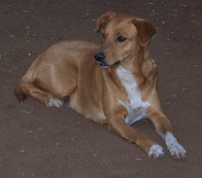 A brown dog with a white chest and paws with a long muzzle and ears that fold over to the sides laying down looking to the left