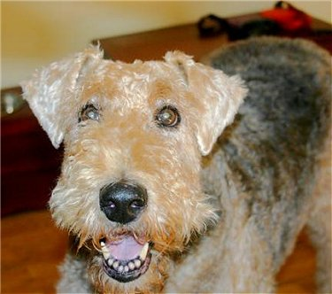 A wiry looking, but soft tan dog with a black saddle pattern, a big black nose and black lips with wide round dark eyes looking happy inside a home