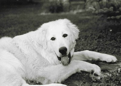 A large thick coated white dog with a big head, almond shaped black eyes, a big muzzle and black nose laying down