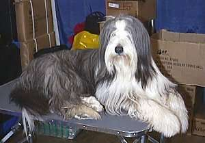 Side view of a long haired gray and white dog with ears that hang down to the sides, a black nose and hair that covers its eyes laying down on a table
