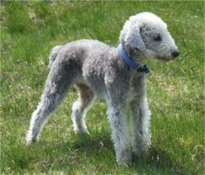 A curly coated gray dog with a straight stop snout and ears that hang down to the sides wearing a blue collar standing outside in grass