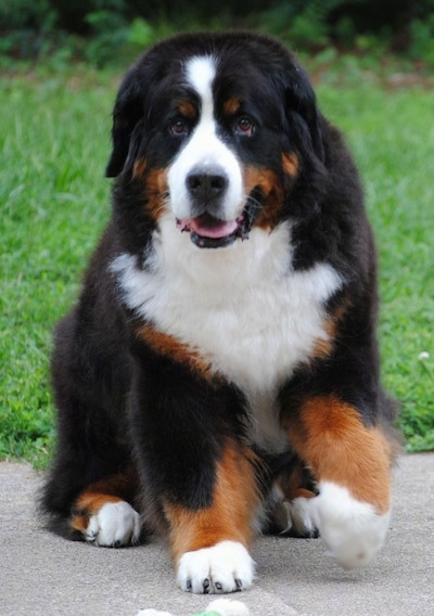 A huge, thick coated tricolor, brown, black and white dog sitting down with one paw up in the air