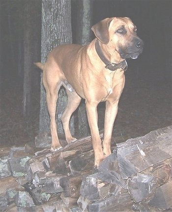 Front side view of a large breed dog with a big head, long hanging ears and long legs standing outside on a big rock