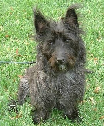 Small breed black dog with a wiry looking coat and perk ears sitting down in grass