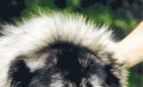 The top of a dog's head with very thick hairs coming from the back of its neck with a persons hand touching the side of the dog