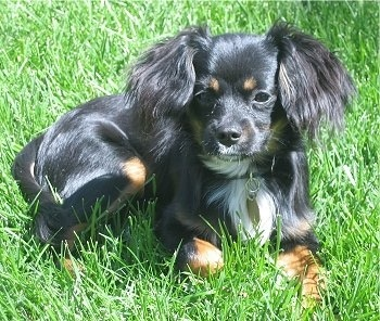 A toy sized, shiny coated, black, tan with white dog with longer hair on her ears laying down in grass