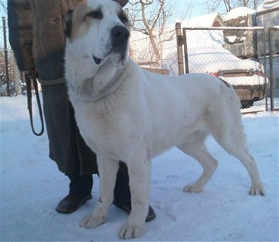 A large white dog with tan markings standing in snow next to a man