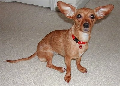 A small breed tan dog with huge perk ears and a long tail sitting down on a tan carpet
