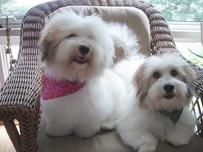Two small fluffy white dogs with tan ears sitting on a chair looking happy