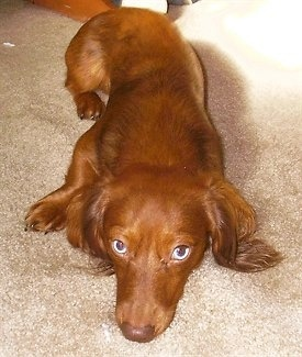 View from above looking down at a reddish-brown small, long bodied dog with long ears and blue eyes laying down on a tan carpet