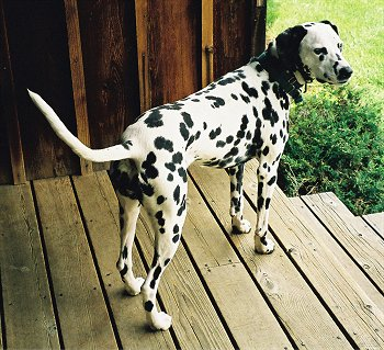 A white dog with black spots and black ears with a long tail standing outside on a wooden porch