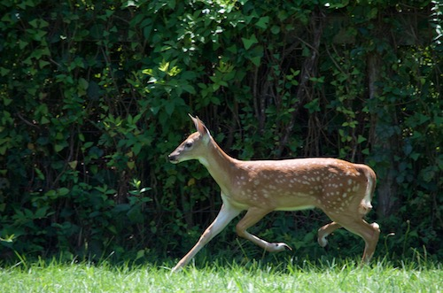 A tan deer with white spots running across a grassy field in front of a tree line