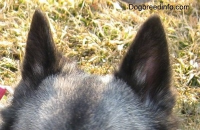 A gray dog's forehead with two small perk ears sticking up and grass in the background