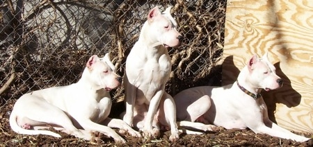 Three muscular pure white dogs with cropped ears that stand up to a point sitting and laying down outside looking to the right