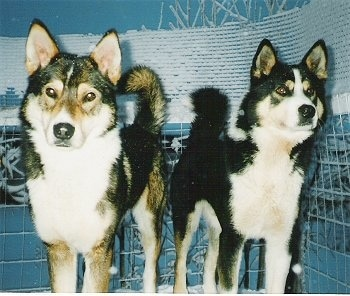 Two thick coated black, tan and white tricolor dogs with perk ears that stand up to point and tails that curl up over their back standing side by side