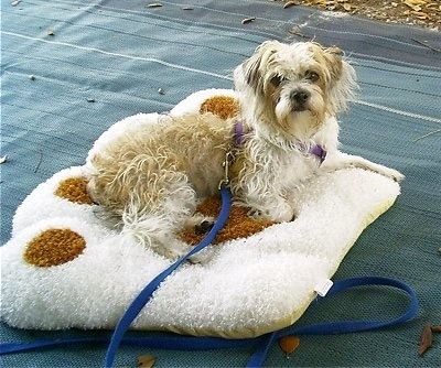 A small tan and white dog with a thick wavy coat laying down on top of a paw print dog bed outside