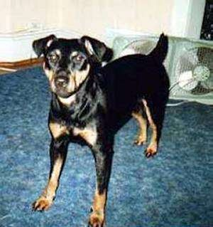 Front view of a black and tan dog with ears that fold over to the sides standing on a blue carpet in front of a fan that is laying on the floor