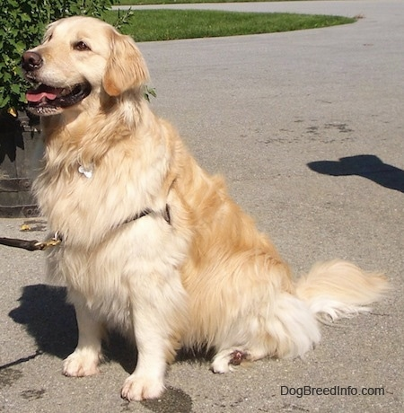 A tan, thick coated large breed dog wearing a harness sitting outside looking happy