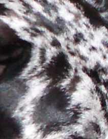 Close up of a black, white and gray color pattern in a dog