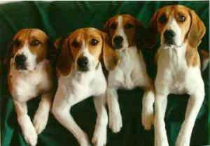Four large breed tricolor hound dogs with long soft hears with their front paws over the back of a green couch