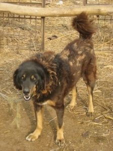 Front side view of a large breed, thick coated black and brown dog standing outside in dirt and hay