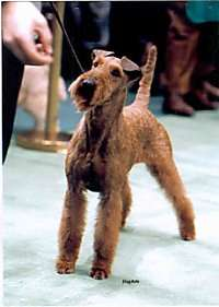 A wiry coated brown dog with small ears that fold over at the tips and a square muzzle out on a show ring looking at a treat a person is holding