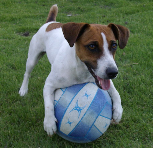 A white, tan with black medium sized dog with her paws around a blue and white soccer ball football out in the grass