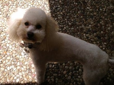 A small white thick coated dog with her hair shaved short on her back and thicker on her face with long hanging ears standing and looking up