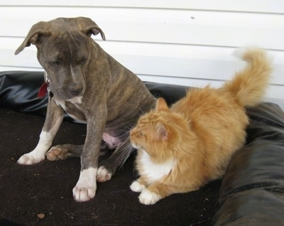 A gray brindle with white pit bull puppy looking at a fluffy orange cat outside on a dog bed