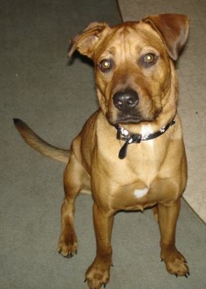 A large breed tan dog with a wide chest, long tail, ears that stick out to the sides, dark eyes and a black nose sitting down