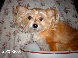 A small shorthaired tan and white dog with longer hair on her face and coming off her ears sitting inside of a food bowl