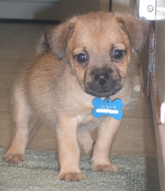 A small tan puppy with a black nose and black on the top of her muzzle and ears that fold down to the sides standing