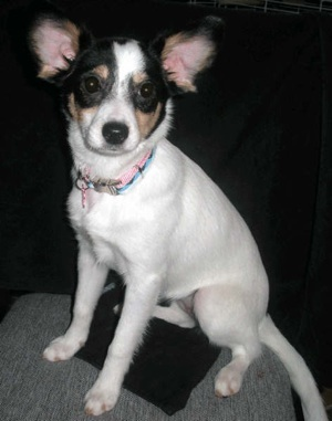 A white, black and tan shorthaired dog with large perk ears and a black nose sitting down