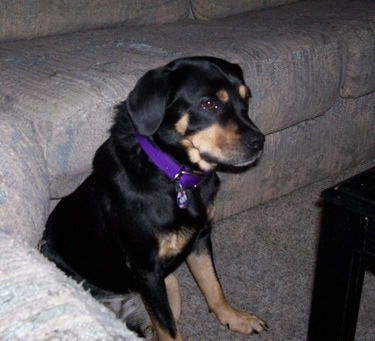 A black and tan mix sized dog with ears that hang to the sides, a black nose and dark eyes sitting down on a tan carpet in front of a tan couch