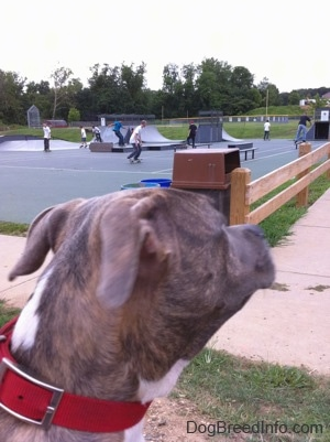 A blue brindle dog looking over at kids at a skate park