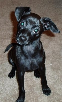 A small black, shiny coated dog with ears that stick out to the sides, wide round eyes and a black nose sitting down on a tan carpet