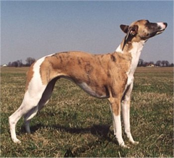 Side view of a skinny, high arched brown brindle and white dog with a long muzzle posing outside in grass