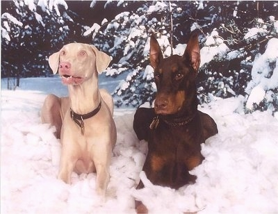 Two Doberman Pinscher dogs laying in the snow, one white dog with ears that hang to the sides and a brown and tan dog with ears that stand up