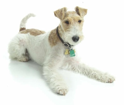 Front side view of a white and tan dog with small v-shaped ears that fold over at the tips, a long tail and a thick body laying down