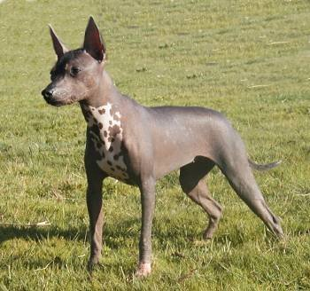 Front side view of a gray with pink dog that has no hair on her body, perk ears and dark nose and eyes outside in grass