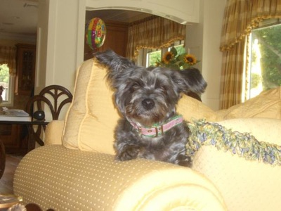 A small black dog with a long wavy coat, short legs and big ears that stick up and out to the sides on a yellow couch inside a living room