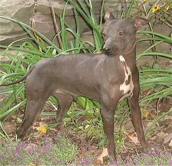 A small gray dog with no hair and pink pigment on her chest with a long thin tail and rose ears