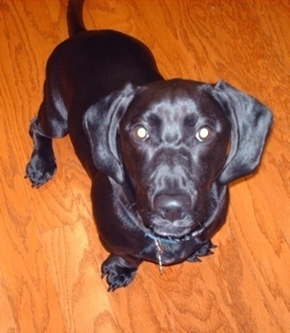 View from above looking down at a shiny black coated dog with long soft hanging ears, a black nose and dark eyes sitting down on a brown hardwood floor