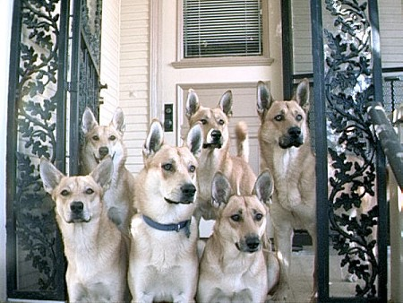 A pack of six tan and white dogs with perk ears sitting on the steps in front of a house