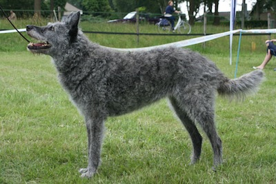 Side view of a thick, wavy coated gray dog with perk ears standing outside in grass