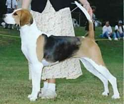 A tricolor, black, tan and white hound dog standing in a show pose in a show ring with a person helping the dog stand in a stack