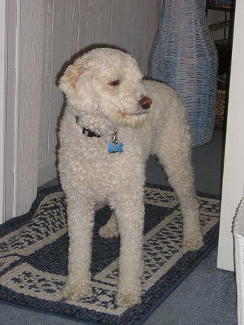 Front side view of a white, thick, curly coated dog with ears that hang to the sides, a dark nose and dark eyes standing on a blue and white rug