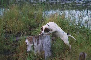 A white with brown hound dog with a long tail jumped up with her paws on top of a tree stump with a body of water in the background