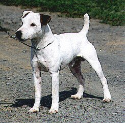Front side view of a shorthaired white dog with small rose ears, a half size tail, long legs and a muscular body standing outside in a gravel path
