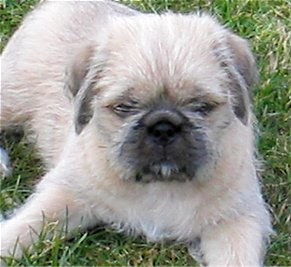 Front view of a small, but thick bodied dog with a round head and a thick coat, a pushed back face with small squinty eyes laying down in grass